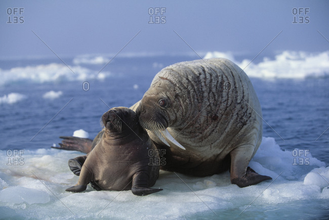 Concerned female Walrus looks after her young cub