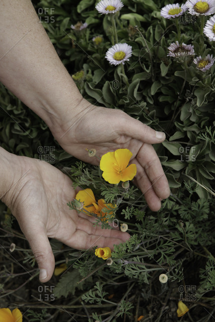 Hand showing small yellow flowers in a garden
