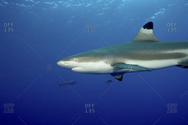 Black tip reef shark mid-water