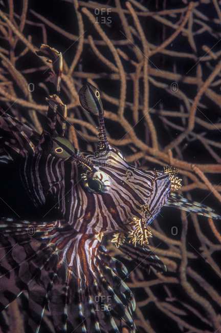 Lionfish and gorgonia