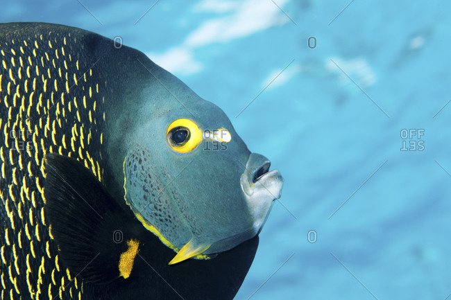 Extreme close-up of French angelfish (Pomacanthus paru) peering at the photographer
