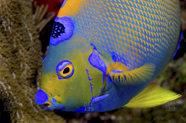 Queen angelfish on coral reef