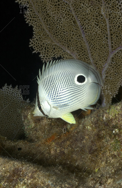 Close-up of Butterflyfish - Offset Collection