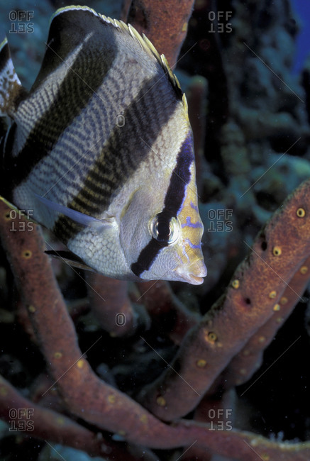 Butterflyfish and sponge - Offset Collection