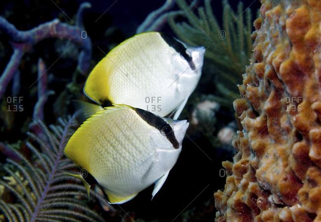 Reef butterflyfish (Chaetodon sedentarius) - Offset