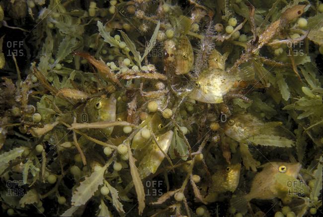 Pygmy filefish in Sargassum - Offset