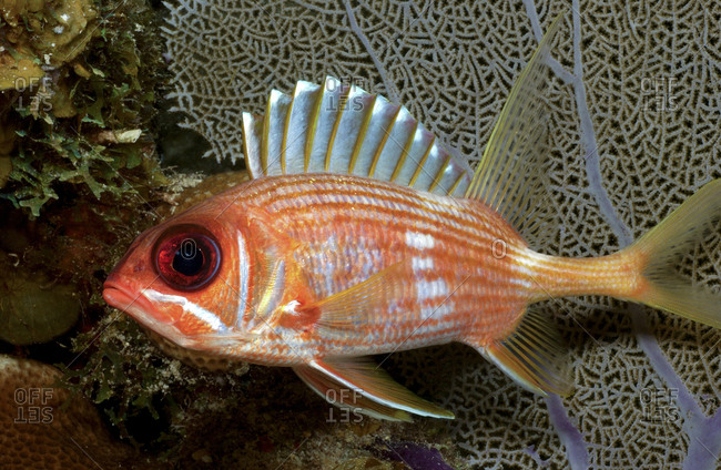 Close-up of Squirrelfish
