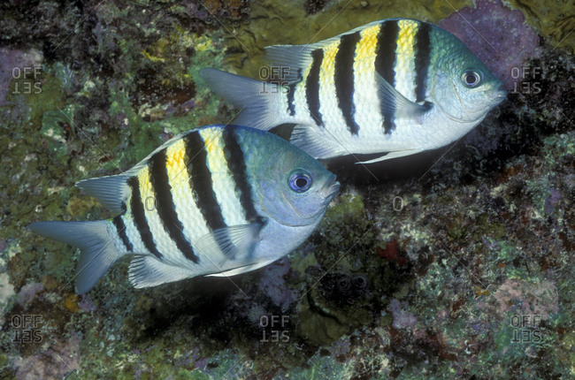 Pair of Sergeant major fish