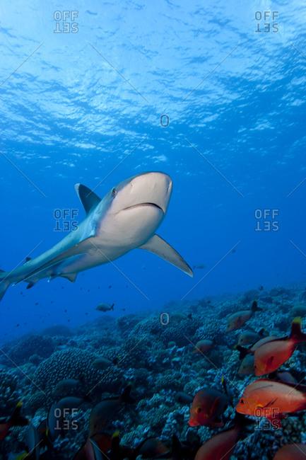 Silvertip shark swims above reef top