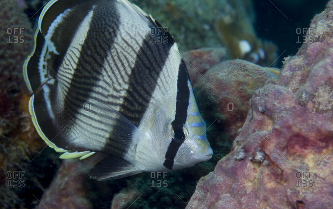 Close-up of Banded butterflyfish - Offset