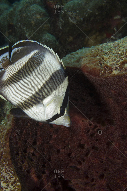 Banded butterflyfish nibbles at sponge