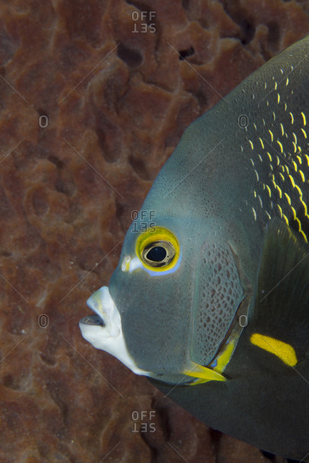 Side view of a French Angelfish next to a barrel sponge