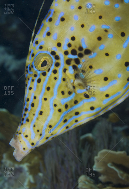 Close-up of face of Scrawled filefish