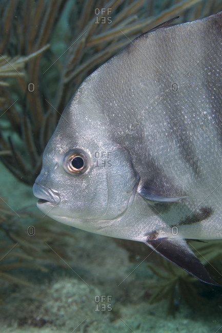 Close-up of a smiling Atlantic spadefish