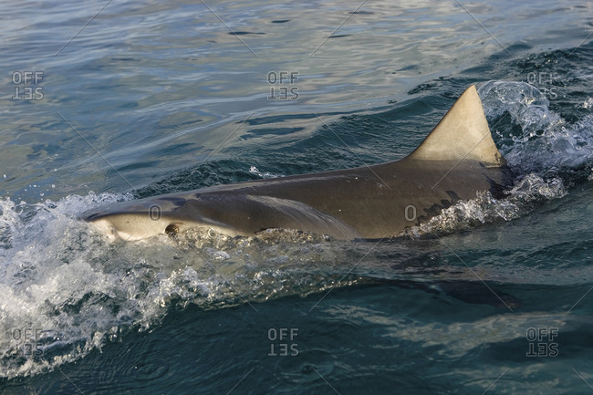 Shark at surface - Offset Collection