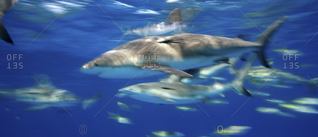 Swimming sharks from the Offset Collection