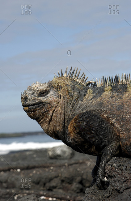 Marine iguana on land