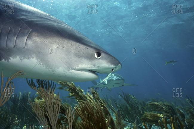 Close-up Tiger shark - Offset Collection