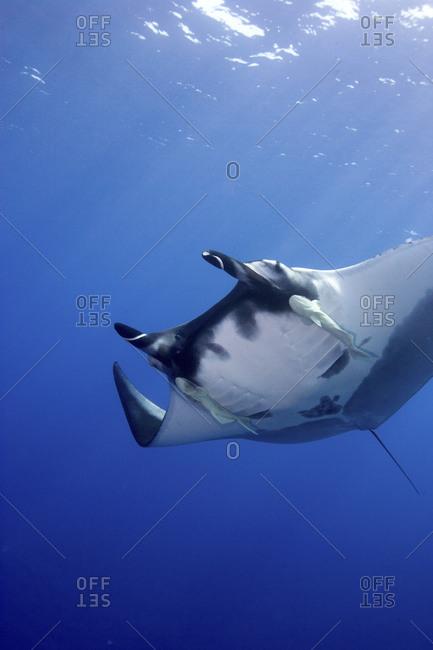 Pacific manta (Manta Hamiltoni)