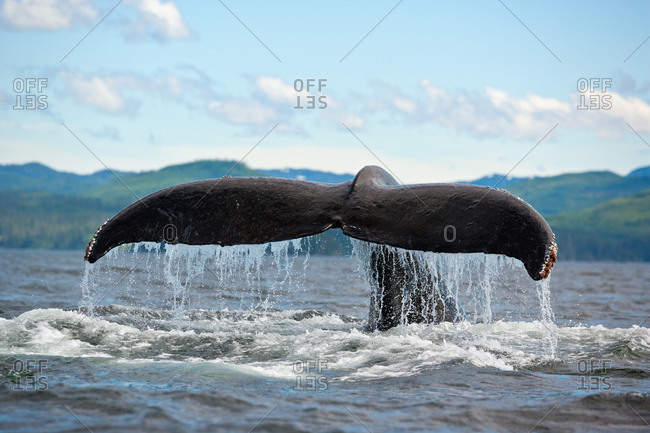 One Humpback Whale (Megaptera novaeangliae) with tail flukes raised high as it begins to dive