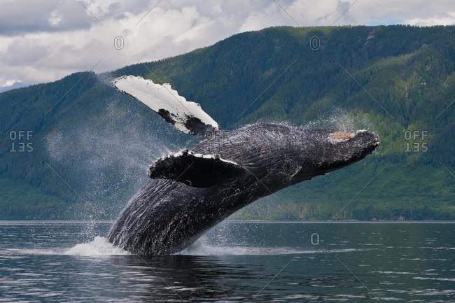 A Humpback Whale (Megaptera novaeangliae) demonstrating breaching behavior. Scientists believe breaching may be performed for a variety of reasons including communication and play. Alaska