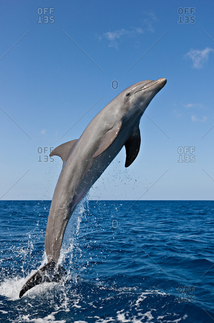 One Bottlenose Dolphin (Tursiops truncatus) leaping. This species of dolphin is found worldwide in both temperate and tropical waters.