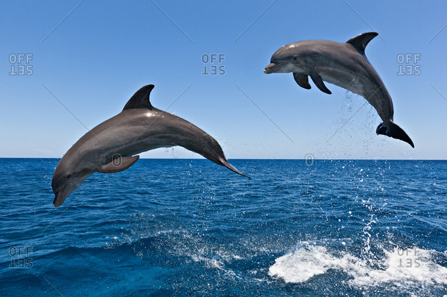 Pair of Bottlenose Dolphins (Tursiops truncatus) jumping. This is a very acrobatic and intelligent cetacean.