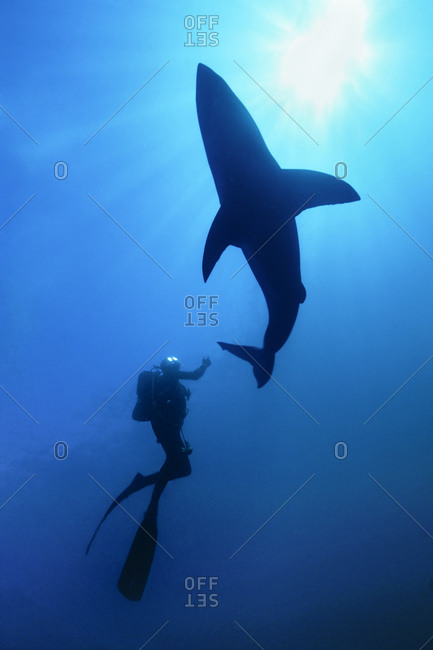 Scuba diver swims with great white shark.