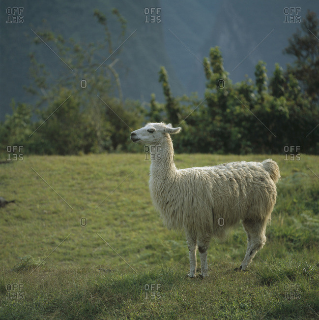 Alpaca standing on a mountain meadow, Inca trail, Peru