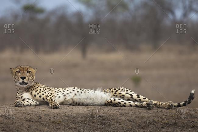 A cheetah lying down, looking at camera