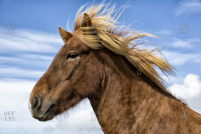 a portrait of an Icelandic Horse