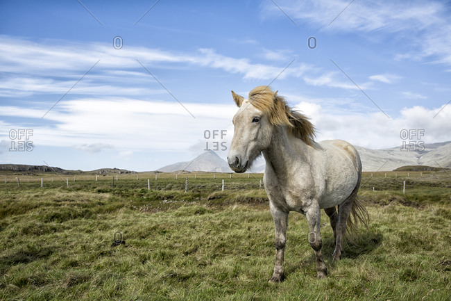 Icelandic Horse stands in a field