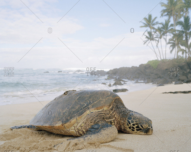 A tortoise lying on a beach