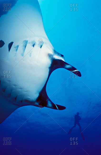 Giant Manta Ray (Manta birostris) view of large oceanic manta from underneath with silhouetted scuba diver in background