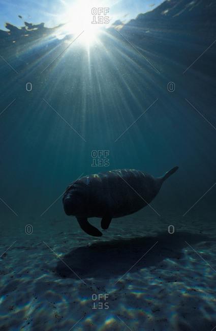 Florida Manatee (Trichechus manatus latirostris) silhouetted beneath sun rays