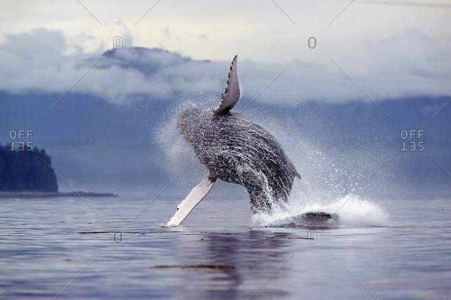 Humpback Whale (Megaptera novaeangliae) jumping completely out of the ocean
