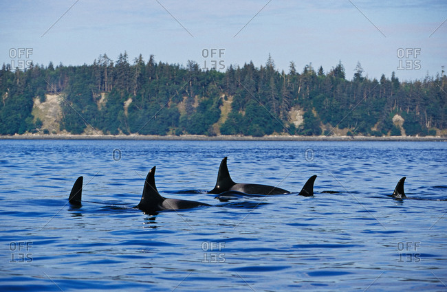 Orca Whales (Orcinus orca) family pod of resident killer whales swimming together at the surface