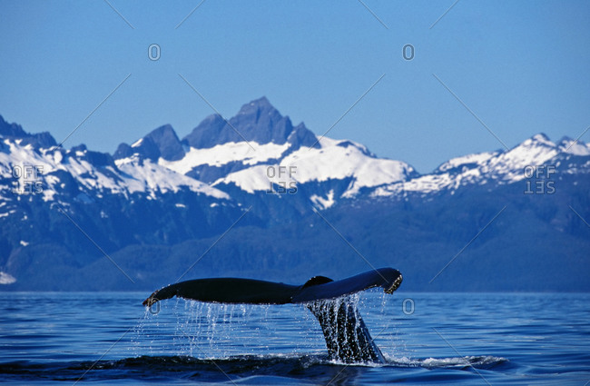 A Humpback Whale (Megaptera novaeangliae) with tail flukes raised above water as it begins to dive in front of snowcapped mountains