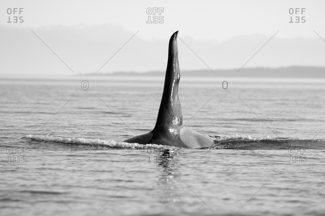 Orca (Orcinus orca) adult male