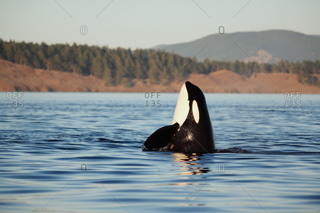 Orca Whale (Orcinus orca) lifting its head above the water to look around