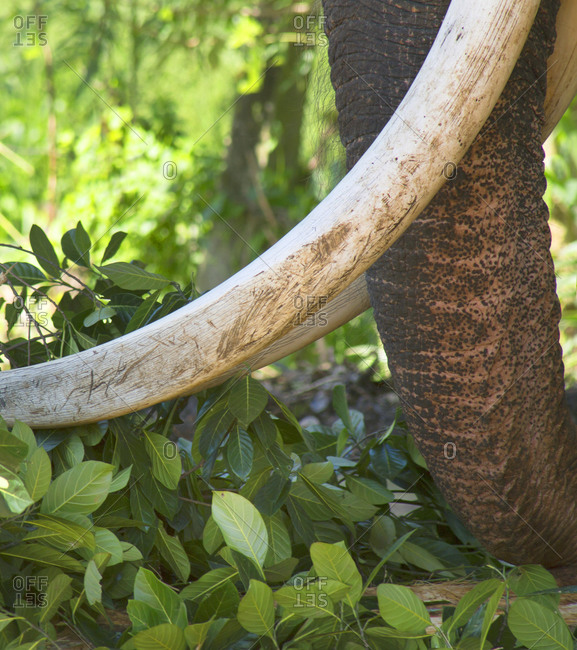 Close up of elephant trunk and snout