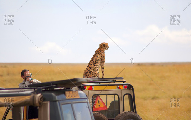 Rear view of cheetah posing on the top of the car