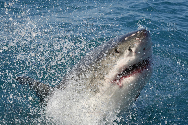 Great White Shark jumping out of the ocean stock photo - OFFSET