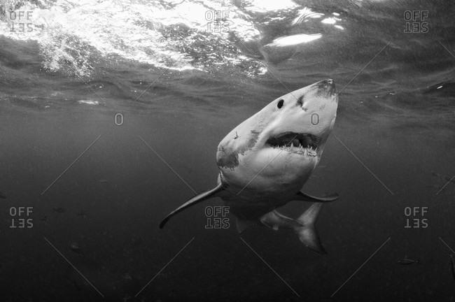 Great White Shark, black and white portrait