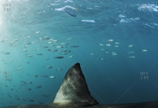 Famous dorsal fin of Great White Shark