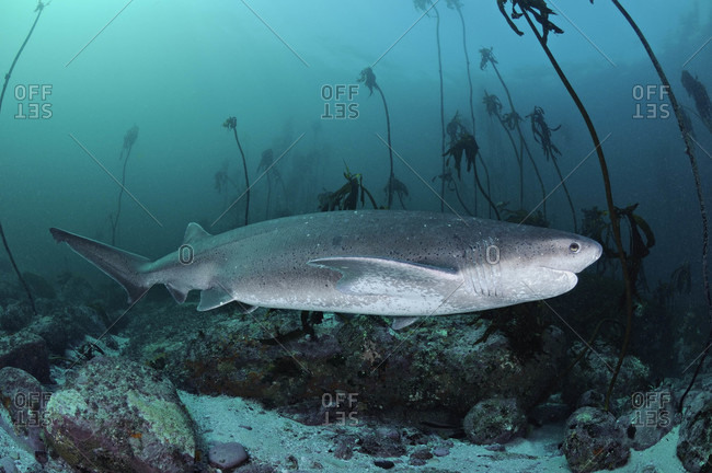 Broadnose Sevengill Shark swimming through a kelp forest