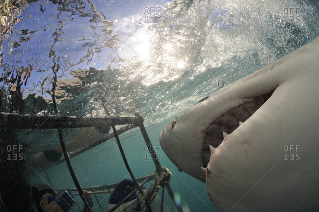 Great White Shark approaches cage with divers inside