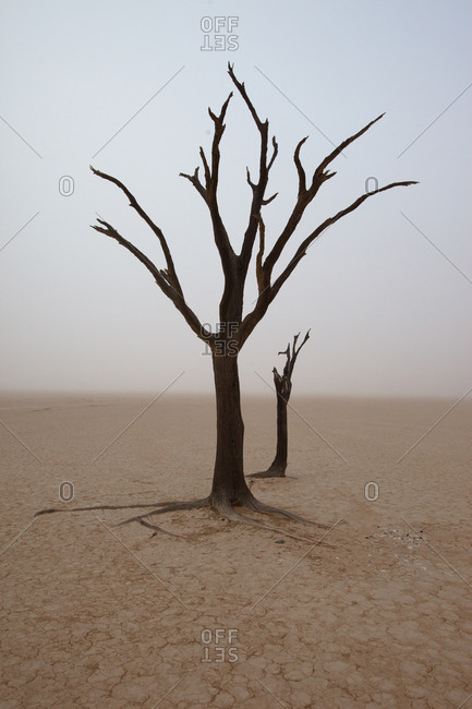 Single dry camel thorn tree at Dead Vlei