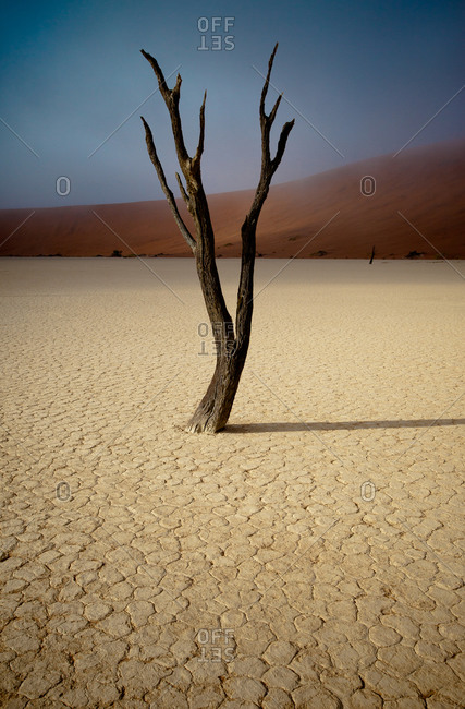 Single camel thorn tree at Dead Vlei, Namibia