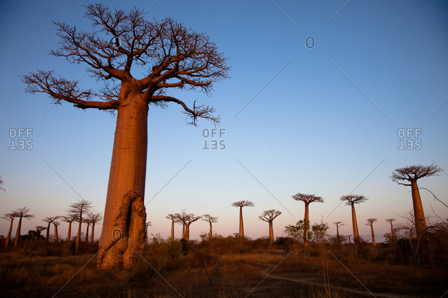 Baobab Tree Forest, Morondava, Madagascar